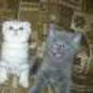 Продаются шотландские вислоухие и прямоухие котята