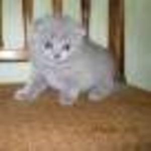 ПРОДАМ  Шотландских вислоухих котят  скоттиш-фолд,