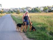 Продам щенков настоящей длинношерстной немецкой овчарки.
