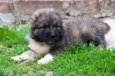 Продаются щенки кавказской овчарки,  недорого